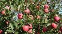 【ふるさと納税】E1501 りんご一筋55年 「樹上完熟ふじ...
