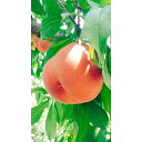 【ふるさと納税】北條農園がお送りする福島の桃
