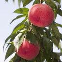 【ふるさと納税】もも(あかつき) 特秀3kg 「献上桃の郷」
