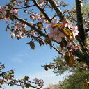 【ふるさと納税】桜の名所・長瀞で「わたしの桜」桜の里親になってみませんか?