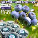 【ふるさと納税】モリタ農園 自然栽培朝摘みブルーベリー1.2kg 完熟 冷蔵 農薬不使用 送料無料