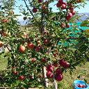 【ふるさと納税】≪10月頃より発送≫長野県須坂市産 りんご「シナノスイート」約5kg《市川ファーム》【果物類・林檎・りんご・リンゴ】