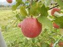 【ふるさと納税】ふじリンゴ(10kg)(予約制)