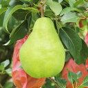 【ふるさと納税】豊かな芳香とまろやかな食感 長野県産 洋なし(ル・レクチェ) 約5kg※2019年11月頃に順次発送予定※着日指定はできません。沖縄・離島への発送不可。