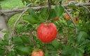 【ふるさと納税】【2019年度産】安曇野のシナノドルチェ 並品 約10kg 【果物類 林檎 りんご リンゴ】 お届け:2019年9月中旬〜9月下旬