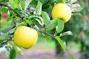 【ふるさと納税】【予約販売】 飯綱のりんご シナノゴールド ...