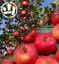 【ふるさと納税】【先行予約】 サンふじ りんご 5kg  飯...
