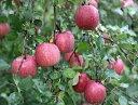 【ふるさと納税】【先行予約】 りんご