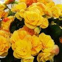 【ふるさと納税】リーガースベゴニア鉢植え 「バラ咲イエローストーン」5号 【植物・雑貨・日用品・花・...