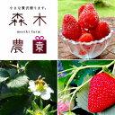 【ふるさと納税】森木農園が作る、濃く甘いちご『紅ほっぺ』冷凍...