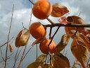【ふるさと納税】ご自宅用に たっぷり富有柿わけあり品(約10...