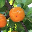 和歌山の平たねなし柿(ご家庭用) 約7.5kg※2020年10月上旬頃より順次お届け