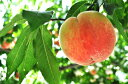 フルーツ王国 和歌山の桃 約4kg※2020年7月上旬頃より順次お届け