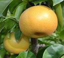 【ふるさと納税】和歌山の樹上成熟梨 ◆※平成30年8月中旬〜...