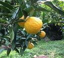 【ふるさと納税】【国産】紀州和歌山のジャバラ果実 約3kg
