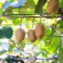 濃厚キウイフルーツ 秀品 24〜36玉(約3.6kg)