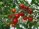【ふるさと納税】糖度8度以上の「真っ赤な真珠」ミニトマト(キ...