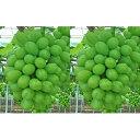 【ふるさと納税】赤磐市産 シャインマスカット 約1.5kg 2房 温室加湿栽培 【果物類・ぶどう・マスカット・フルーツ・果物】 お届け:2020年7月上旬〜2020年8月中旬