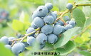 【ふるさと納税】岡山美咲町産 大粒フレッシュブルーベリー ※...