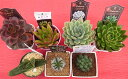 【ふるさと納税】多肉植物特選アソートセット プレミアム5種類 【花・苗木】