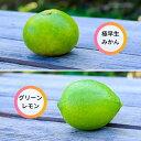 【ふるさと納税】〈10月発送〉極早生みかん+グリーンレモン約4kg