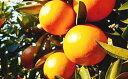 【ふるさと納税】特選 袋かけセミノールオレンジ 【みかん・柑橘類・フルーツ・果物】 お届け:2019...