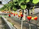 【ふるさと納税】いちご「さぬきひめ」1kg 【果物類/いちご...