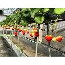 【ふるさと納税】いちご「さぬきひめ」1kg 【果物類/いちご/苺/イチゴ/フルーツ 】 お届け:2019年11月中旬〜2020年1月下旬