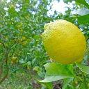 【ふるさと納税】豊島レモン2.5キロ 【果物類・柑橘類・レモン・檸檬・フルーツ】 お届け:2020年12月1日〜2021年1月31日
