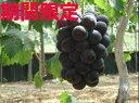 【ふるさと納税】香川県産ピオーネ2キロ