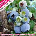 【ふるさと納税】 旬にお届け!無農薬栽培 完熟生ブルーベリー...