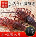 【ふるさと納税】高知県産天然活き伊勢海老(中サイズ)約1kg...