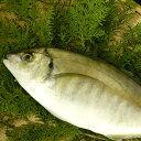 【ふるさと納税】【幻の高級魚】シマアジお刺身セット...