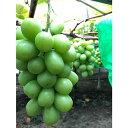 【ふるさと納税】シャインマスカット3〜5房(約1.5kg) 【果物類・ぶどう・マスカット・フルーツ・...