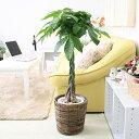 【ふるさと納税】風水にも良い観葉植物。パキラ 7号 ブラウン...