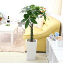 【ふるさと納税】風水にも良い観葉植物。パキラ 7号 ホワイト...