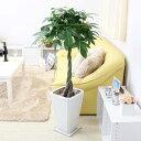 【ふるさと納税】風水にも良い観葉植物。パキラ 8号 ホワイト...