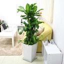 【ふるさと納税】幸福の木 9号 ポトス寄せ植え ホワイト陶器...