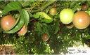 【ふるさと納税】2102.パッションフルーツの2年生苗