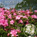 【ふるさと納税】ミヤマキリシマ(雲仙ツツジ)苗木(4年生苗)×2点