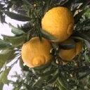 33【ふるさと納税】柑橘「はるか」