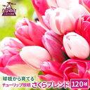 【ふるさと納税】チューリップ球根 さくらブレンド 120球 ピンク系色ミックス 無選別 花 フラワー...