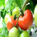 【ふるさと納税】森緑園がお贈りする贅沢トマト【約2kg!!】