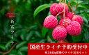 【ふるさと納税】予約商品<国産!新富ライチ 10玉入り>※平...