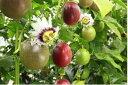 【ふるさと納税】BB-P21004【先行受付】 パッションフルーツ(12個入り×6箱)武富農園
