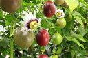 【ふるさと納税】パッションフルーツ(バラ詰め5kg)たけはら農園