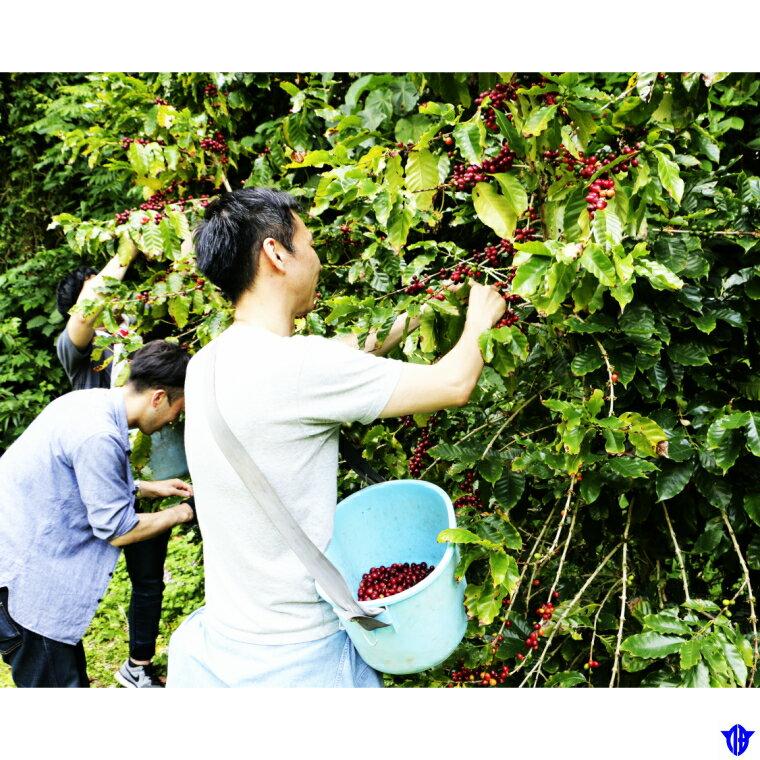 【ふるさと納税】コーヒー収穫体験1日