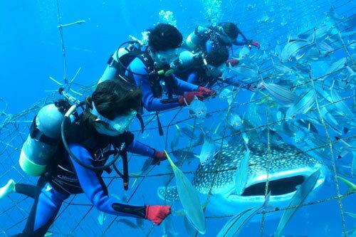 【ふるさと納税】【2名様】圧巻!ジンベエザメ体験ダイビング