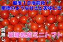 全額返金保証付き!糖度10度前後!和歌山産 完熟 ミニトマト 1kg 房なし フルーツトマト 高糖度