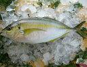 鹿児島産 シマアジ 1尾 1〜1.2kg しまあじ 産地直送